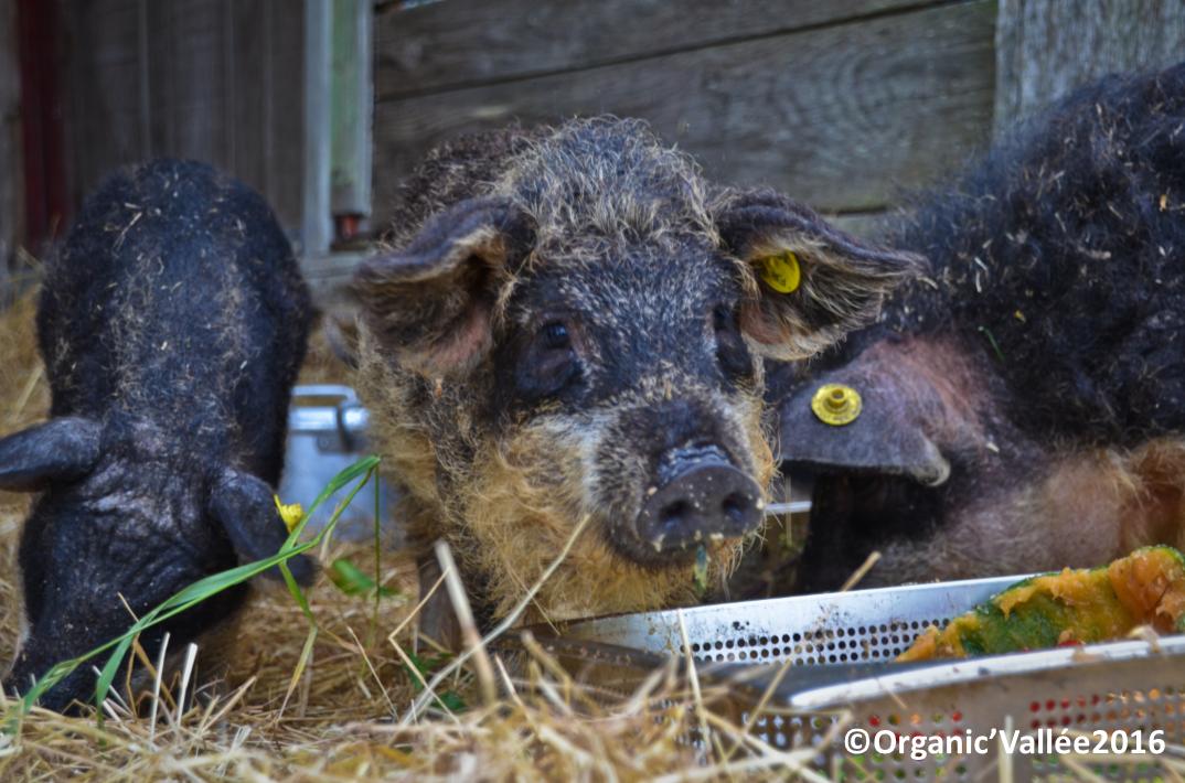 Cochons Laineux des cochons laineux à organic'vallée ! - organic'vallée